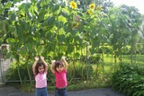 We planted and grew huge sunflowers